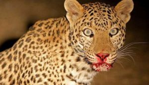 leopard-attacks-on-girl