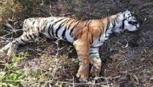 tiger-dead-body